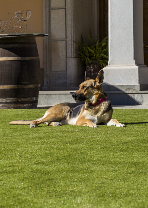 dog lying on artficial grass for pool
