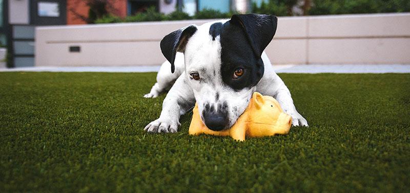 ¿Qué tipo de césped es mejor comprar para perros y mascotas?